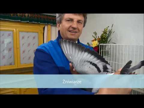 Tajemny materiał hodowlany , gołębie niezłomne tel. 728 465 939