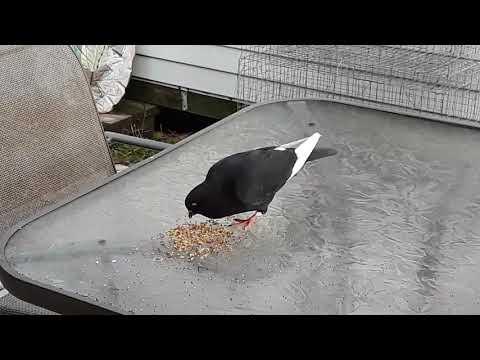 Stray pigeon still here. @ taino loft (brod681)