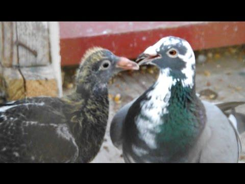 Pigeon Racing Breeding Loft Update