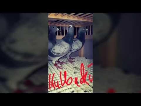 Kulbacki pigeons in Chicago USA RASA KULBACKI W CHICAGO USA CO TYDZIEŃ WYSYŁKI EVERY WEEK SHIPPING