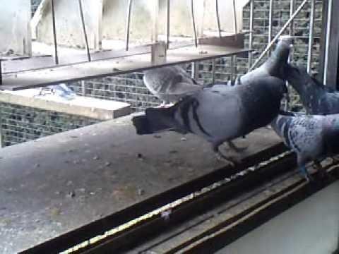 Brieftauben German racing pigeons loft Reisetauben Tauben 03.03.2013
