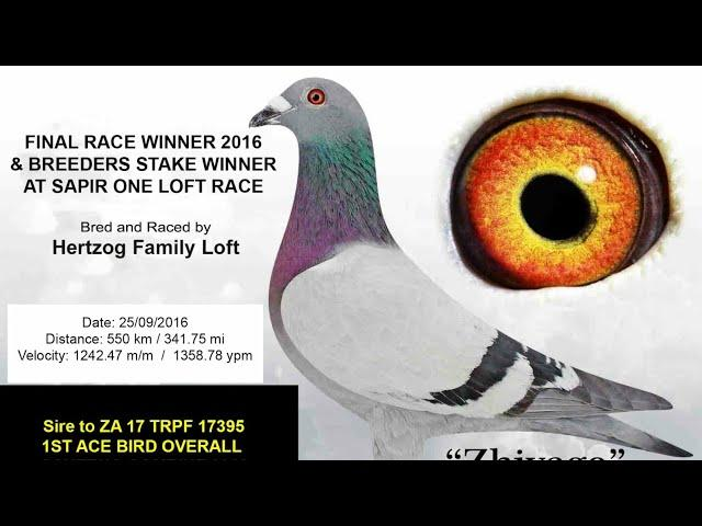 Florida Pigeon Dervi 100 millas de activacion