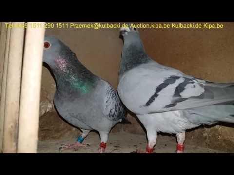 Juz sprzedana parka tel + 49 1511 290 1511 gołębie Rozpłodowe 2016