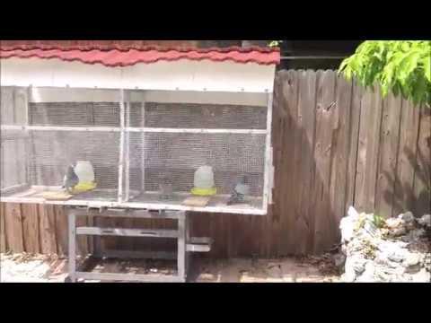 Improving Pigeon Health Preparing To Treat Coccidiosis