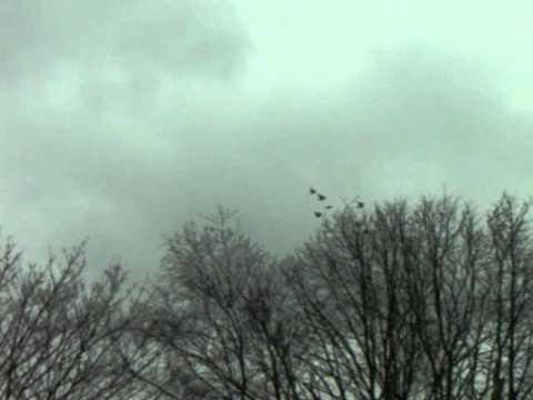 jonge duiven 2012