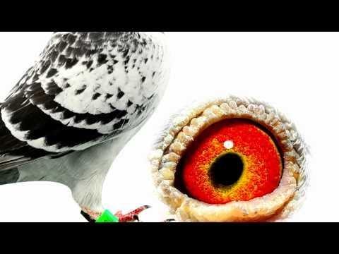 Arona-TENERIFE 2011 Winner Pigeons HD Eyes