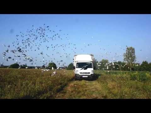 Oddział 0299 Czersk - lot nr 3 gołębi młodych - pojenie gołębi, wypuszczenie, itp. - 04.09.2016r.
