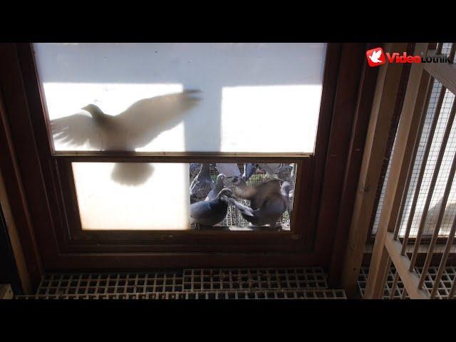 Usprawnienia w gołębniku i aktualności z hodowli - Andrzej & Michał Buszko - PZHGP Kwidzyn