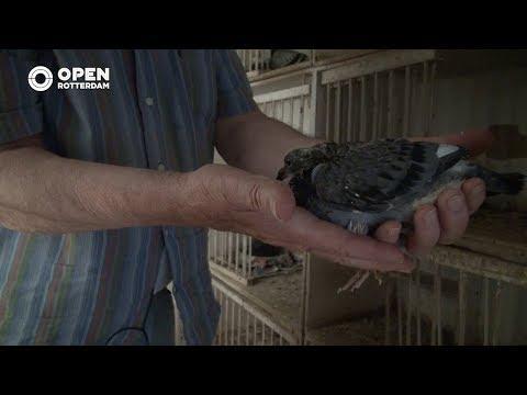 010nu - Jan (80) uit Hillegersberg krijgt geen genoeg van postduiven