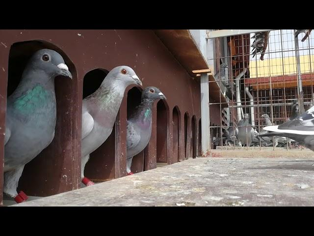 Pigeons going out to train 19 september 2017