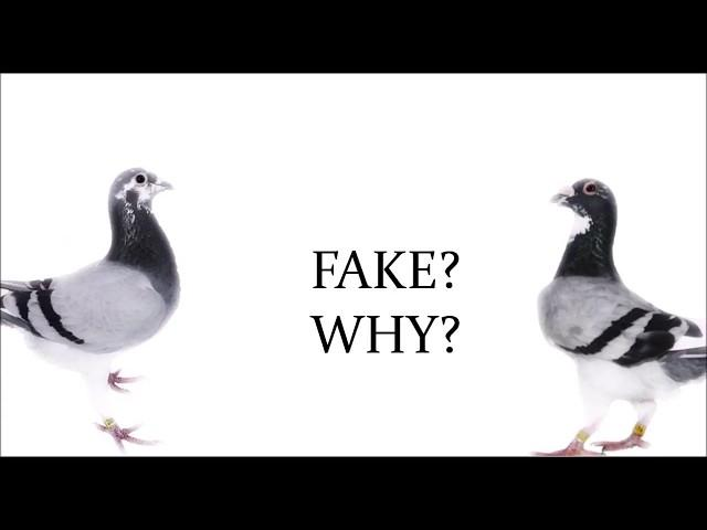 Why Do People Steal Pigeons? and What Happens To Them?