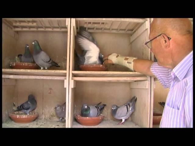 GPTV: Een Leeuwarder duif van 50.000 euro