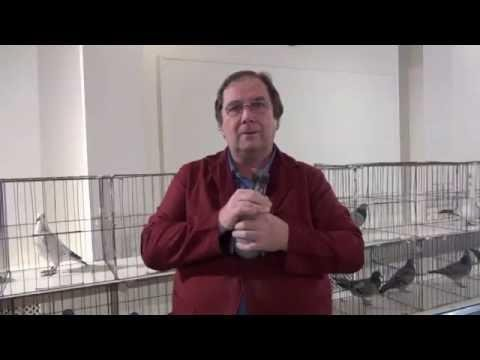 Video 203: Spelthorne / Godalming Open Racing Pigeon Shows 2013