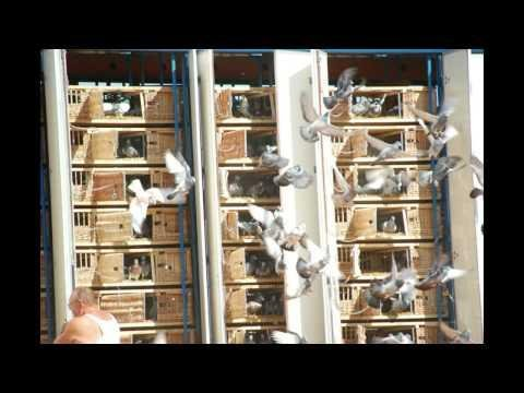 Barcelona International Pigeon Race 2007 HD