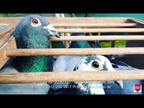 Kulbacki Tauben in Braunschweig wir verschicken unsere Tauben weltweit tel 0049 1511 290 1511