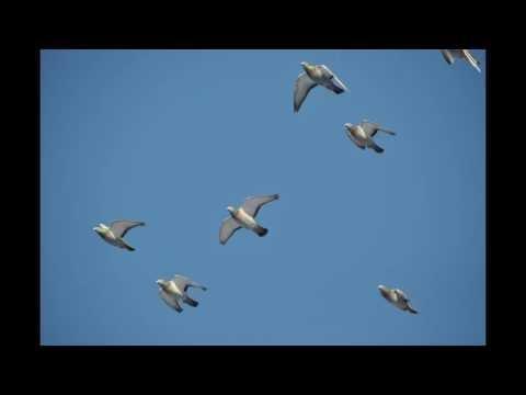 Gołębie w niebie , muzyka relaksacyjna ...11.