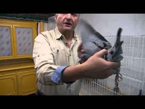 Vervorty gołębie przestworzy tel. 728 465 939
