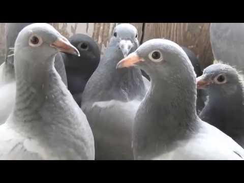 Szybkie gołębie dla Tadzika tel. 728 465 939