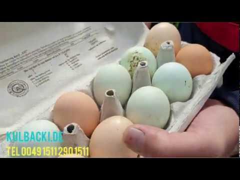 Kury znoszą jajka jak szalone CUDOWNE MAGICZNE MLEKO KULBACKIEGO to naturalna siła zdrowia!