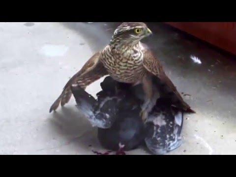Overlast van roofvogels beperken deel 2 van 3 (Dutch only)