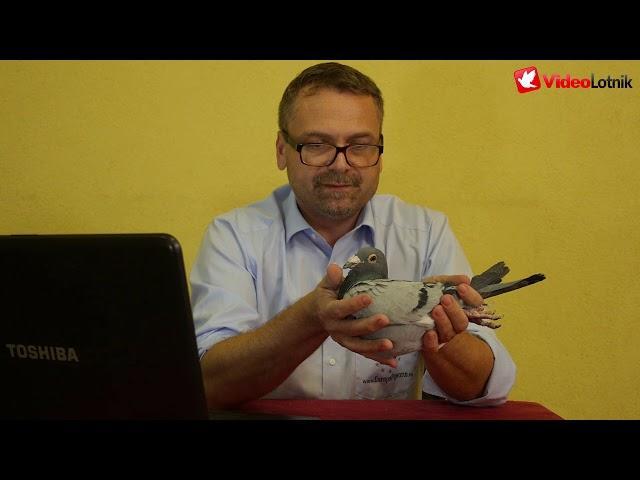 Gołębie Wouters - prezentacja gołębi na aukcje Europapigeons Juwels