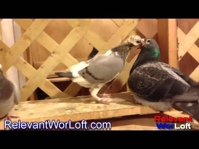 Racing Pigeon Breeders- Meet Our Racing Pigeon Breeders