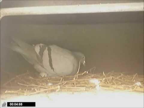 Duiven nestje op balkon 2012 - ff wisselen en eieren goed leggen.