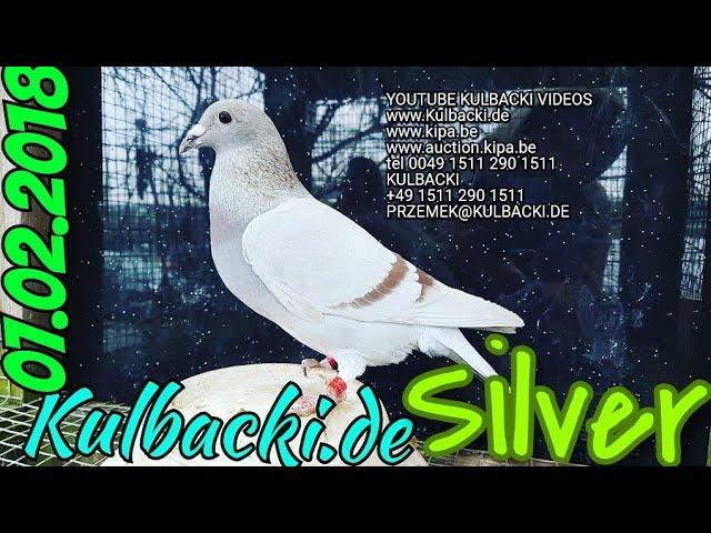 SILVER UNIQUE BLOOD RACING PIGEON is sold juz sprzedany informacja TEL +49 1511 290 1511 OR WHATSAPP