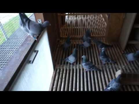 WG Centrum - gołębie na sprzedaż, prezentacja.