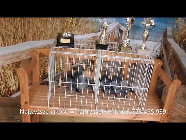 Asy przestworzy - gołębie marzeń tel. 728 465 939