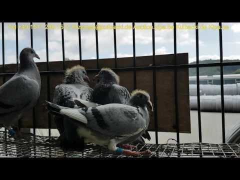już sprzedane, Meulemans Pigeons for sale direct from Belgium original best bloodlines Europa