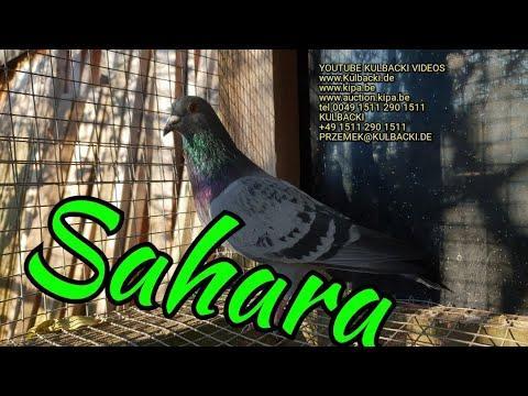 juz sprzedany/sold England, Sahara x Dolce Vita, jestes zainteresowany SAHARĄ tel 0049 1511 290 1511