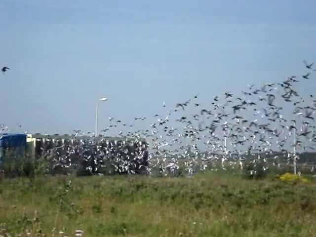 duivenlossing 's-heerenberg kring 1  20 8 2011 012