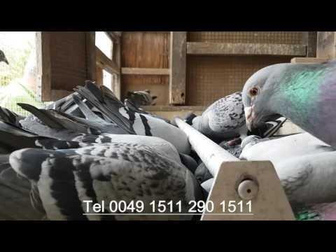 Dzisaj wysyłka golebi tel 0049 1511 290 1511