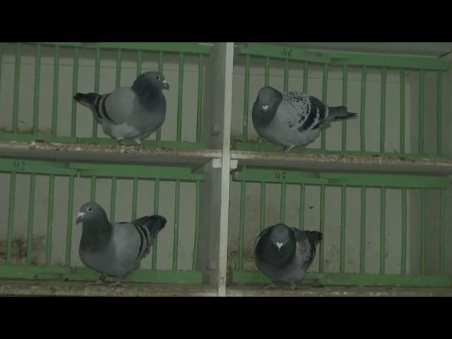 Ryszard kupuje gołębie na 850 km !