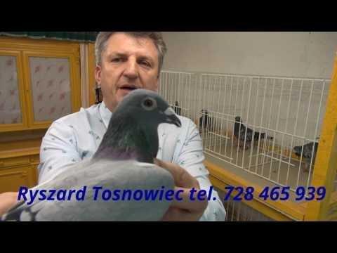 Sekretne rady o gołębiach pocztowych ...