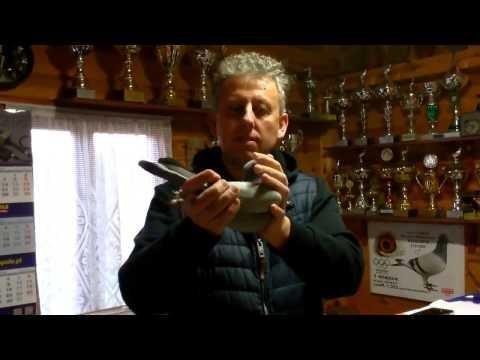 """Rainer Puttmann - aukcja gołębi """"Barka"""" - wprowadzenie"""