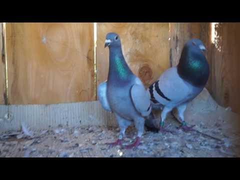 pairing  pigeons