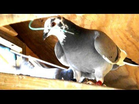 Racing Pigeons Trapping into Loft - 230 miles - 2016 Young Birds