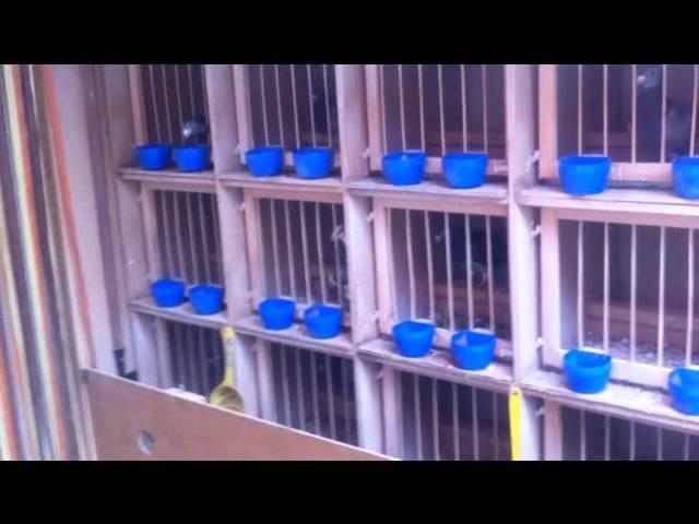 Meine Tauben und mein Taubenschlag Video AF