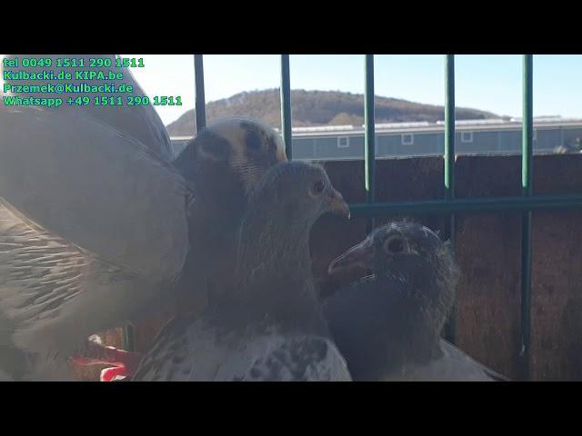 Amazing racing pigeons 2020 | new generation for sale | młode na sprzedaż  | Kulbacki Brieftauben
