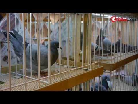 Sosnowiec 2014 - 7. Międzynarodowe Targi Gołębi Pocztowych EXPOGołębie (2/3)