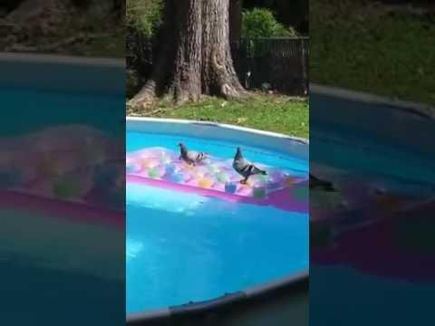 Just Some Pigeons Swimming In A Pool