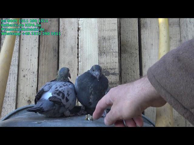 young pigeons, młode na sprzedaż Ramses,Dordin,Schellens,Schmierblau,Schaerlaeckens,Koopman