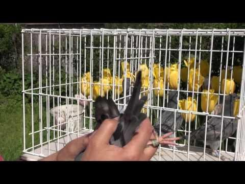 Sprzedaż gołębi dla śląskiego hodowcy t. 728 465 939