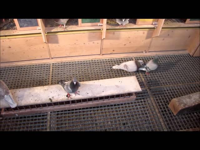 Racing Pigeon, Brieftauben, Postduiven, Duiven
