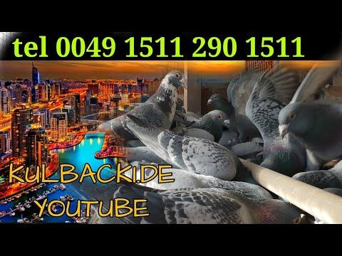 moje lotniki samce | my racing cocks | meine ReiseVögel Witwer | KULBACKI RACING PIGEONS GERMANY |