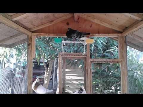 Palomar y palomas en venta en Naples