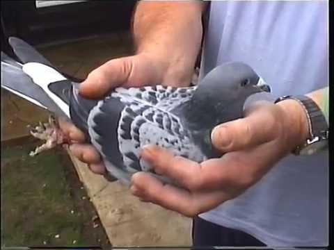 Video 282: Mr. & Mrs. John Walker of Reading: Premier Pigeon Racers