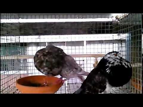 Gabriel Sanchez - Pouter Pigeons Gaditano